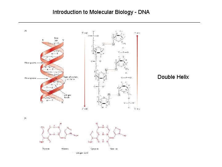 Introduction to Molecular Biology - DNA Double Helix