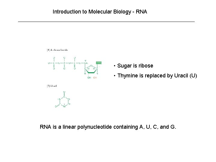 Introduction to Molecular Biology - RNA • Sugar is ribose • Thymine is replaced