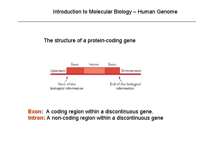 Introduction to Molecular Biology – Human Genome The structure of a protein-coding gene Exon: