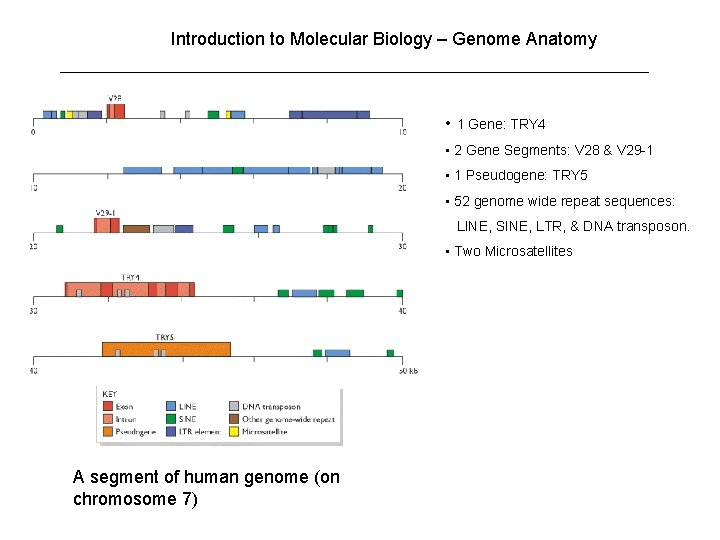 Introduction to Molecular Biology – Genome Anatomy • 1 Gene: TRY 4 • 2