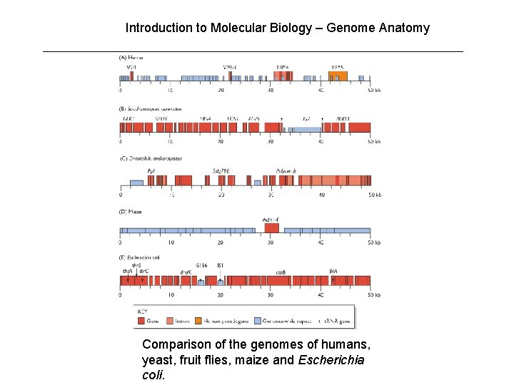 Introduction to Molecular Biology – Genome Anatomy Comparison of the genomes of humans, yeast,
