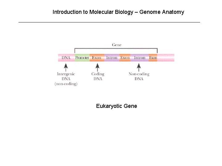 Introduction to Molecular Biology – Genome Anatomy Eukaryotic Gene