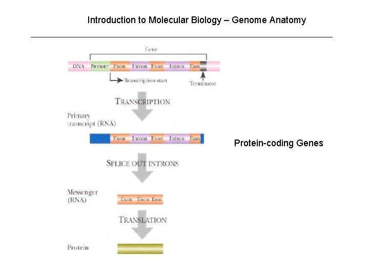 Introduction to Molecular Biology – Genome Anatomy Protein-coding Genes