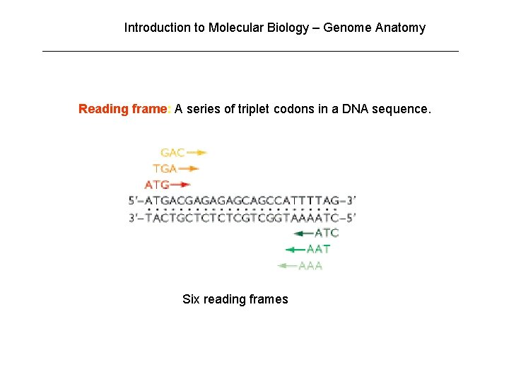 Introduction to Molecular Biology – Genome Anatomy Reading frame: A series of triplet codons