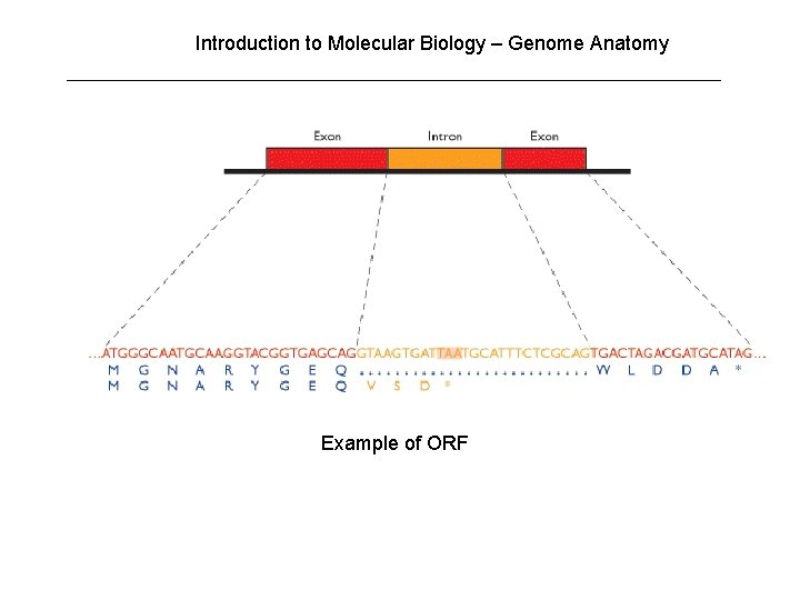 Introduction to Molecular Biology – Genome Anatomy Example of ORF