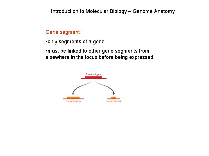 Introduction to Molecular Biology – Genome Anatomy Gene segment: • only segments of a