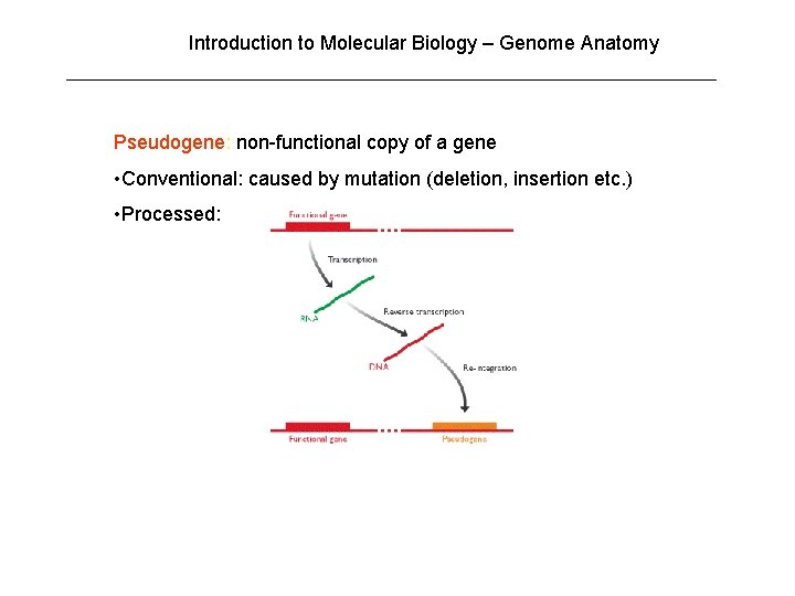 Introduction to Molecular Biology – Genome Anatomy Pseudogene: non-functional copy of a gene •