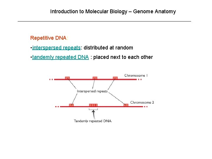 Introduction to Molecular Biology – Genome Anatomy Repetitive DNA: • interspersed repeats: distributed at
