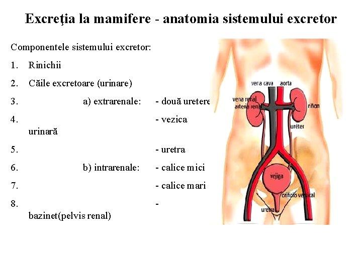 Sistemul excretor și excreția la mamifere by Laura Nicoleta