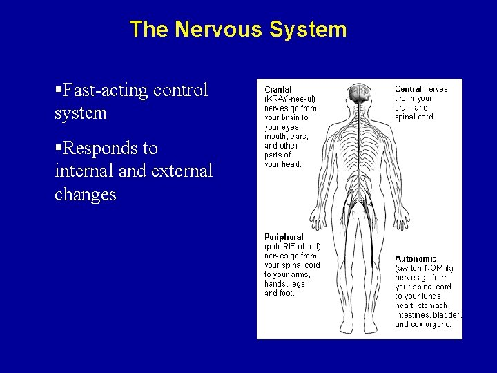 The Nervous System §Fast-acting control system §Responds to internal and external changes