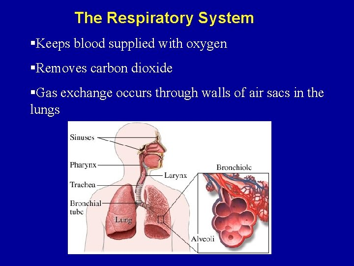 The Respiratory System §Keeps blood supplied with oxygen §Removes carbon dioxide §Gas exchange occurs