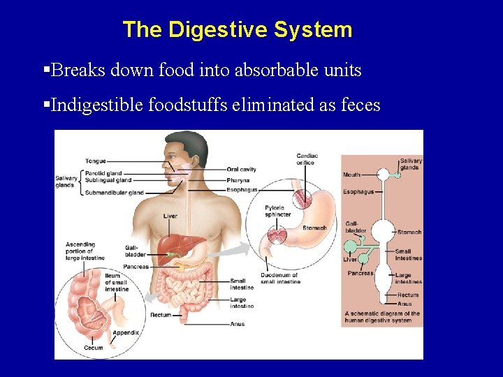 The Digestive System §Breaks down food into absorbable units §Indigestible foodstuffs eliminated as feces