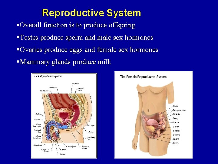 Reproductive System §Overall function is to produce offspring §Testes produce sperm and male sex