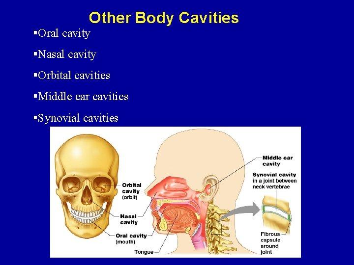 Other Body Cavities §Oral cavity §Nasal cavity §Orbital cavities §Middle ear cavities §Synovial cavities