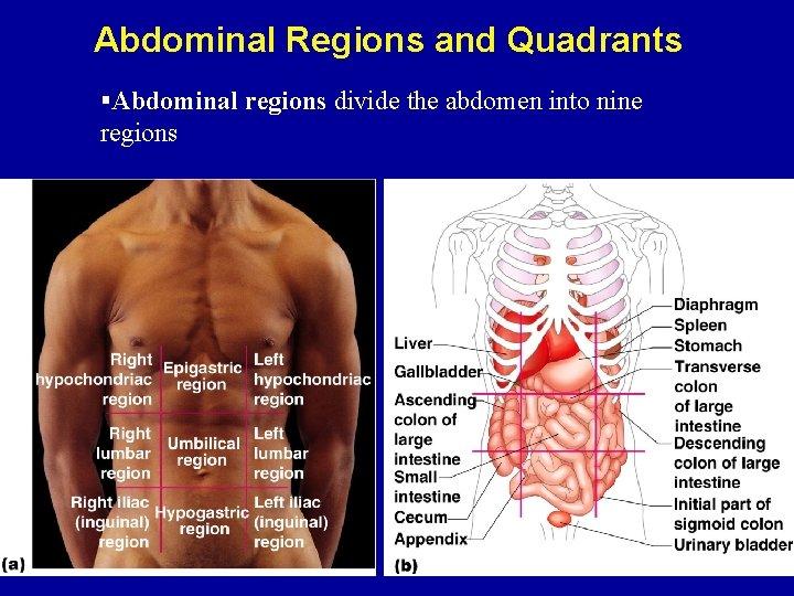 Abdominal Regions and Quadrants §Abdominal regions divide the abdomen into nine regions
