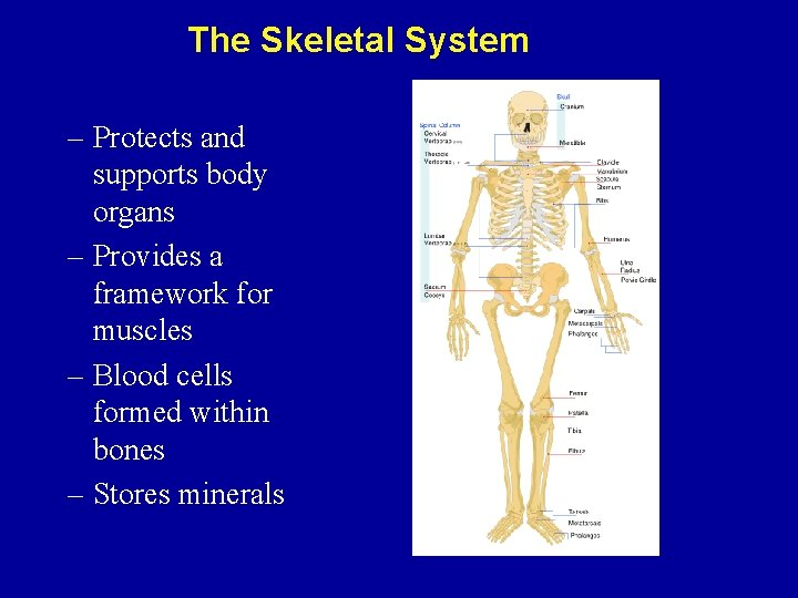 The Skeletal System – Protects and supports body organs – Provides a framework for