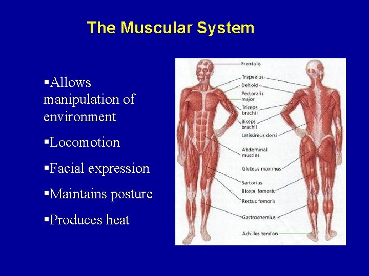 The Muscular System §Allows manipulation of environment §Locomotion §Facial expression §Maintains posture §Produces heat
