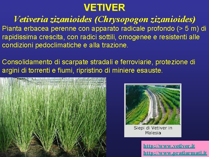 VETIVER Vetiveria zizanioides (Chrysopogon zizanioides) Pianta erbacea perenne con apparato radicale profondo (> 5