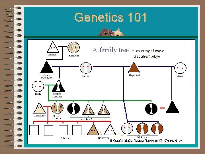 Genetics 101 A family tree ~ courtesy of www. Geocities/Tokyo