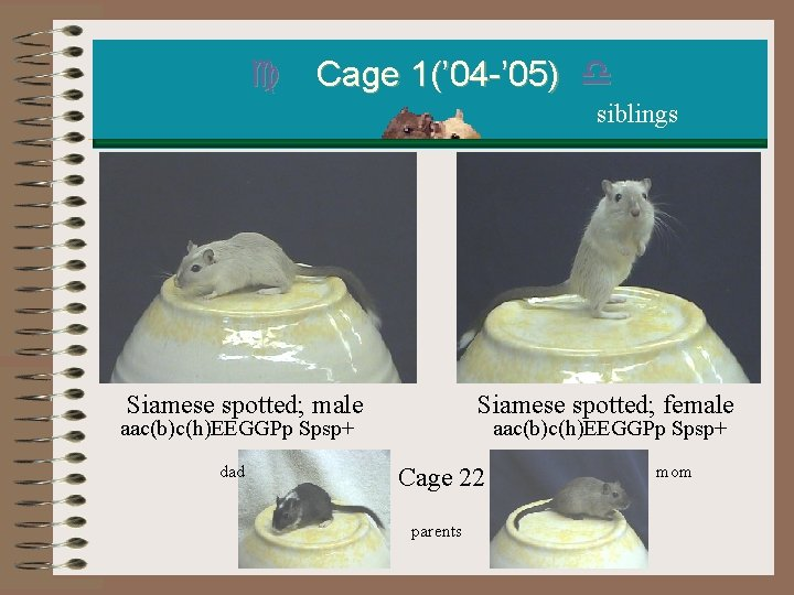 c Cage 1(' 04 -' 05) d siblings Siamese spotted; male aac(b)c(h)EEGGPp Spsp+ dad