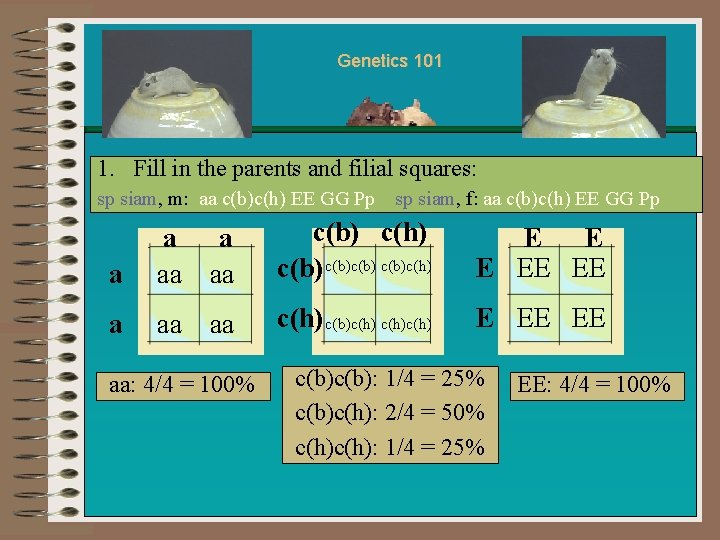 Genetics 101 1. Fill in the parents and filial squares: sp siam, m: aa