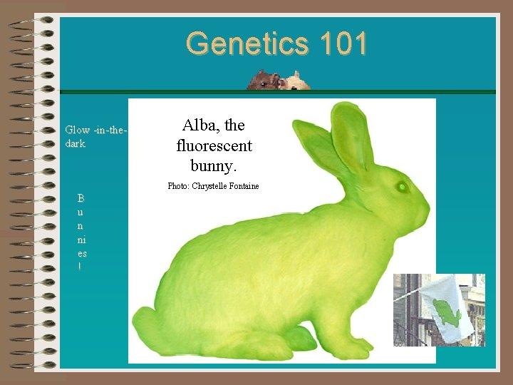 Genetics 101 Glow -in-thedark Alba, the fluorescent bunny. Photo: Chrystelle Fontaine B u n