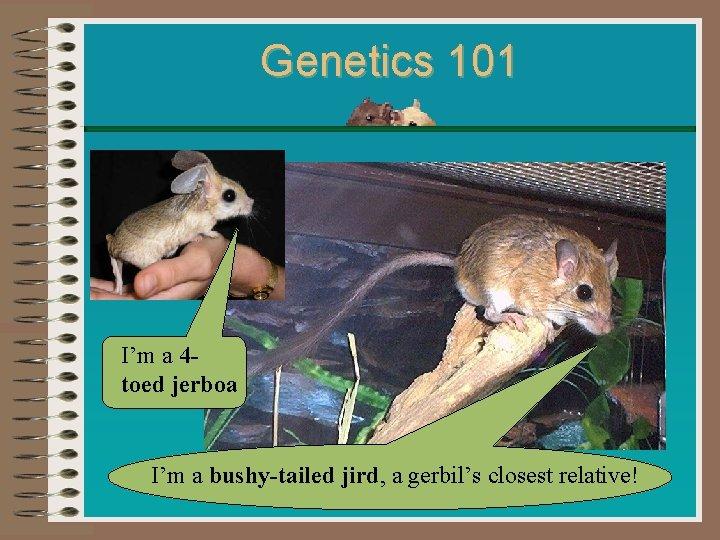 Genetics 101 I'm a 4 toed jerboa I'm a bushy-tailed jird, a gerbil's closest