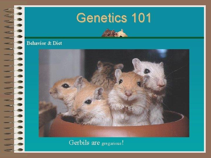 Genetics 101 Behavior & Diet Gerbils are gregarious!