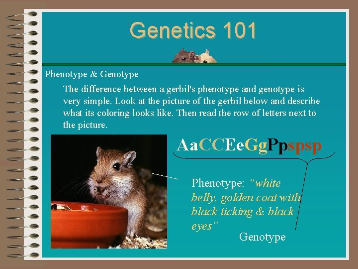 Genetics 101 Phenotype & Genotype The difference between a gerbil's phenotype and genotype is