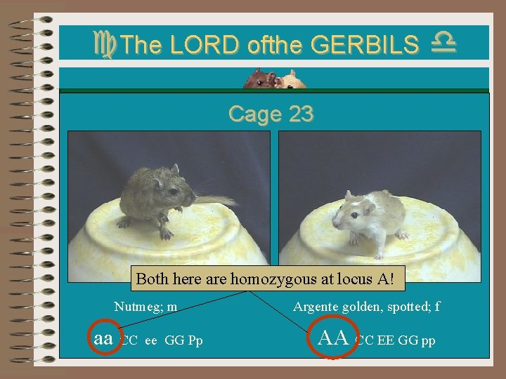 c. The LORD ofthe GERBILS d Cage 23 Both here are homozygous at locus