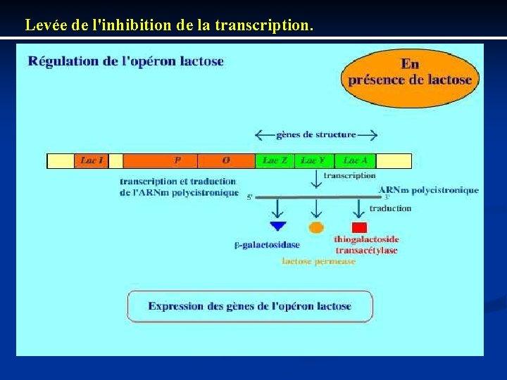 Levée de l'inhibition de la transcription.