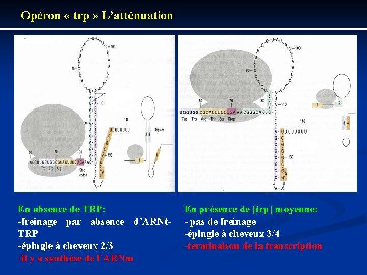 Opéron « trp » L'atténuation En absence de TRP: freinage par absence d'ARNt TRP