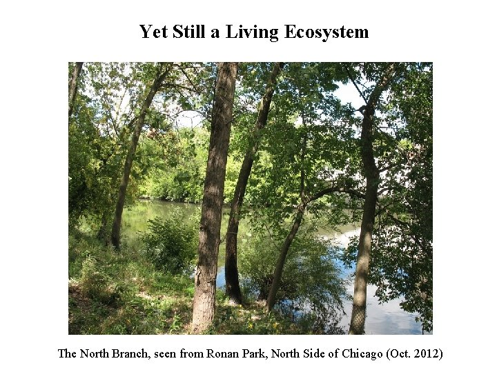 Yet Still a Living Ecosystem The North Branch, seen from Ronan Park, North Side
