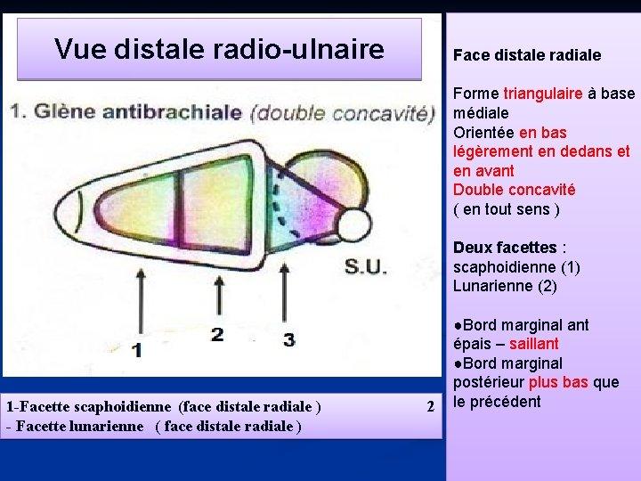 Vue distale radio-ulnaire Face distale radiale Forme triangulaire à base médiale Orientée en bas