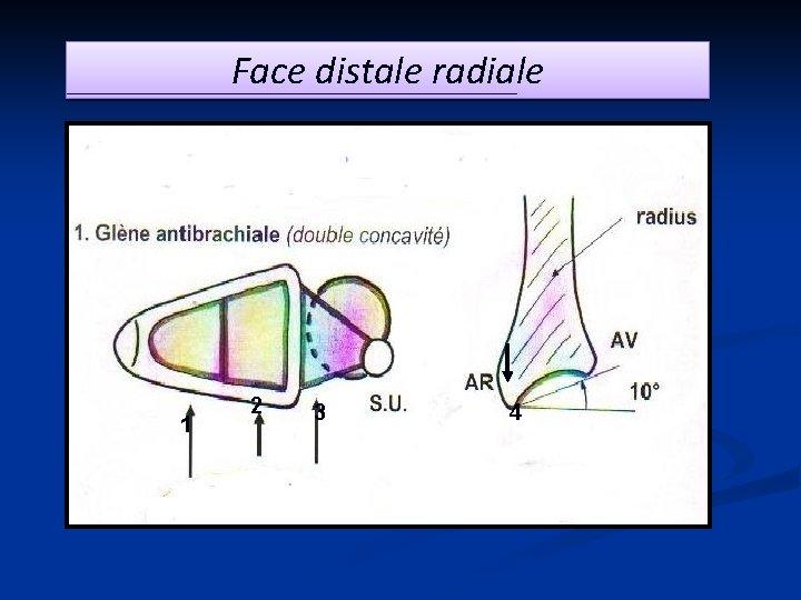 Face distale radiale 1 2 3 4
