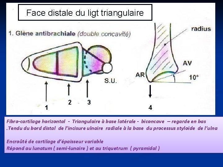Face distale du ligt triangulaire 1 2 3 4 Fibro-cartilage horizontal - Triangulaire à