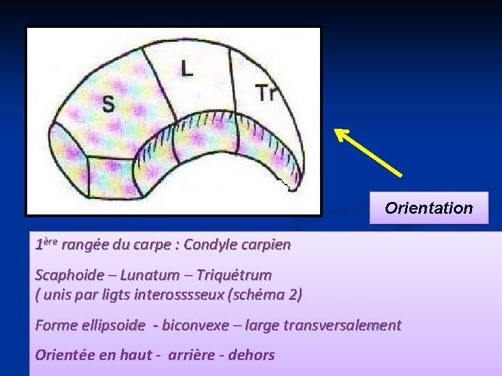 Orientation 1ère rangée du carpe : Condyle carpien Scaphoide – Lunatum – Triquétrum (