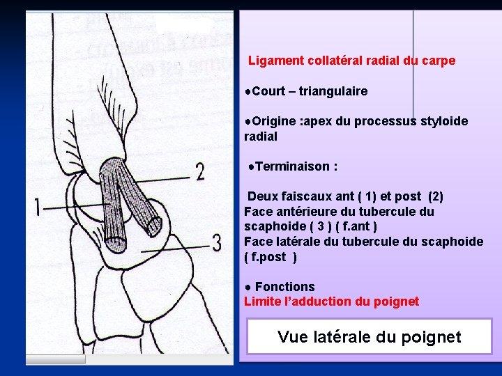 Ligament collatéral radial du carpe ●Court – triangulaire ●Origine : apex du processus styloide