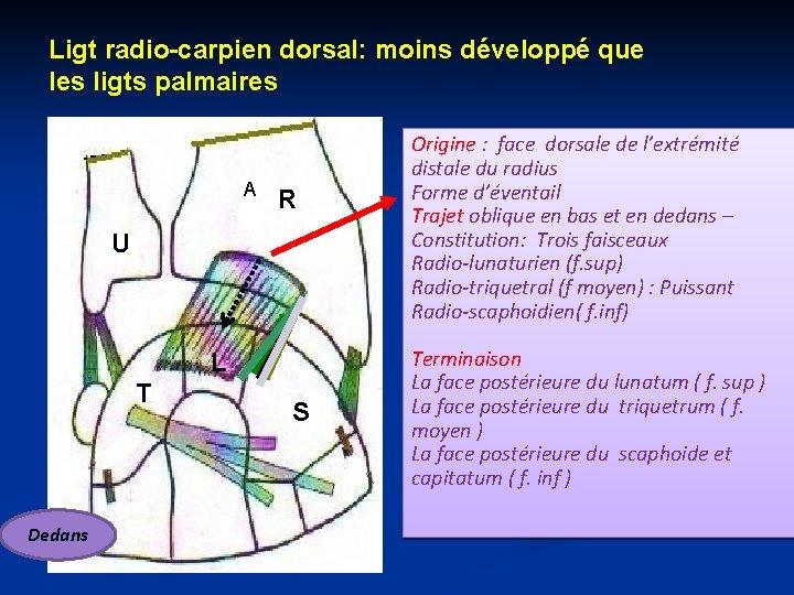 Ligt radio-carpien dorsal: moins développé que les ligts palmaires A R U L T