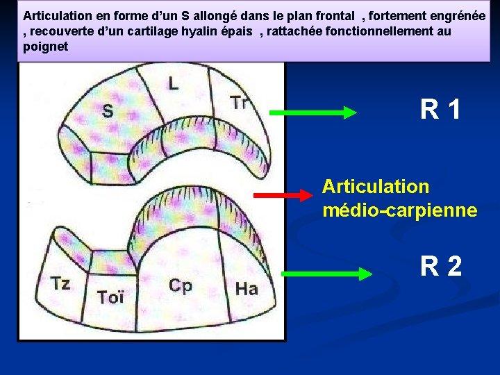 Articulation en forme d'un S allongé dans le plan frontal , fortement engrénée ,