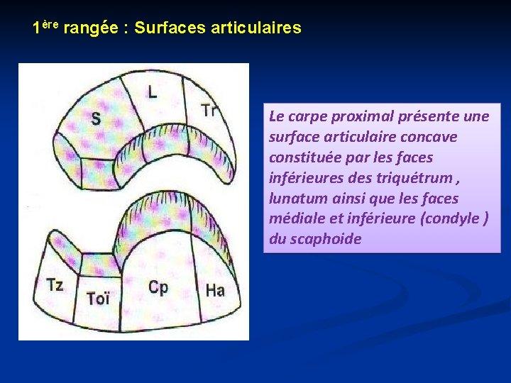 1ère rangée : Surfaces articulaires Le carpe proximal présente une surface articulaire concave constituée