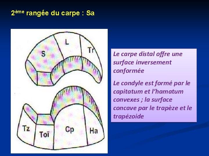 2ème rangée du carpe : Sa Le carpe distal offre une surface inversement conformée