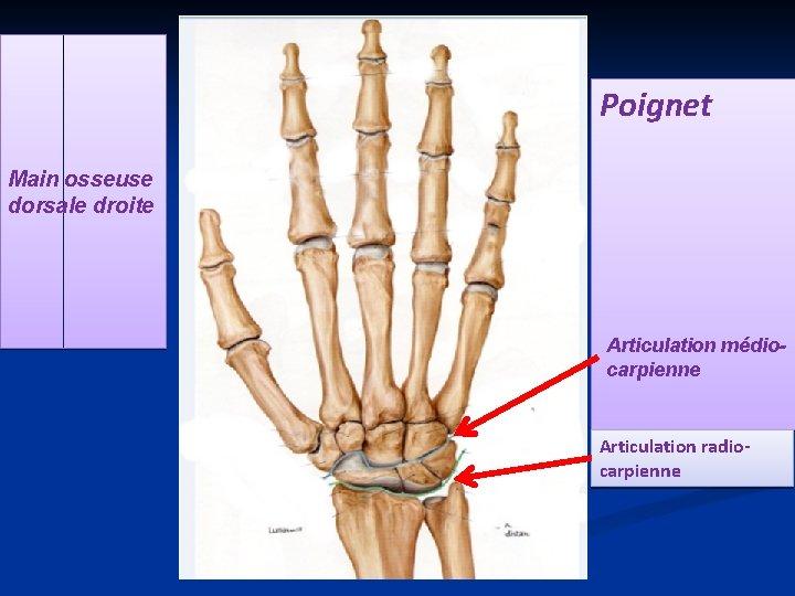 Poignet Main osseuse dorsale droite Articulation médiocarpienne Articulation radiocarpienne