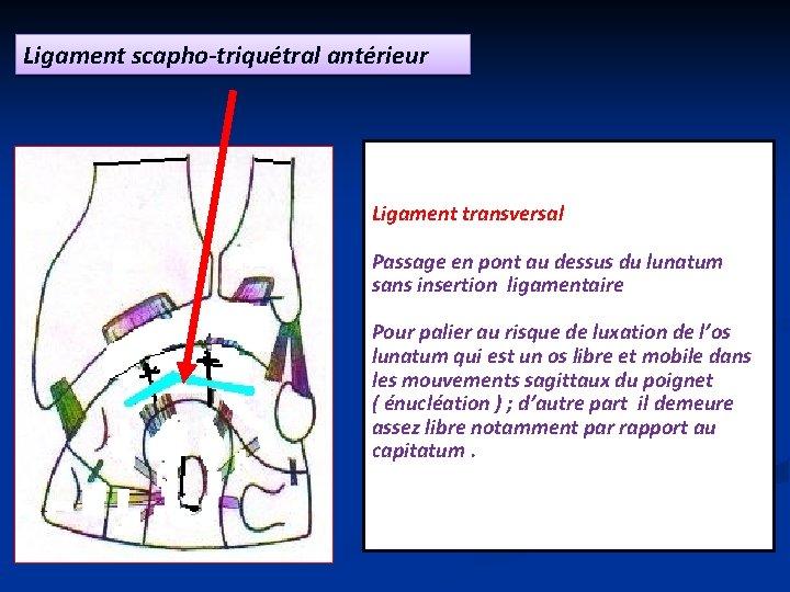 Ligament scapho-triquétral antérieur Ligament transversal Passage en pont au dessus du lunatum sans insertion