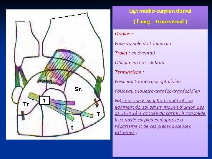 Ligt médio-carpien dorsal ( Long – transversal ) Origine : Face dorsale du triquétrum