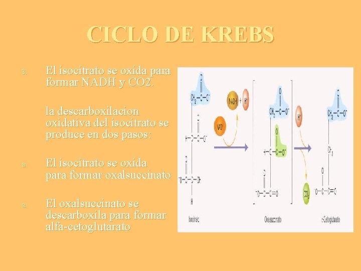 CICLO DE KREBS 3. El isocitrato se oxida para formar NADH y CO 2.