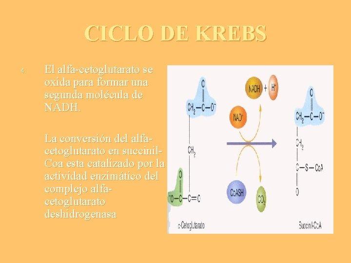 CICLO DE KREBS 4. El alfa-cetoglutarato se oxida para formar una segunda molécula de