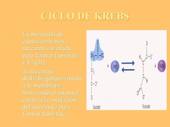 CICLO DE KREBS 6. La molécula de cuatro carbonos succinato se oxida para formar