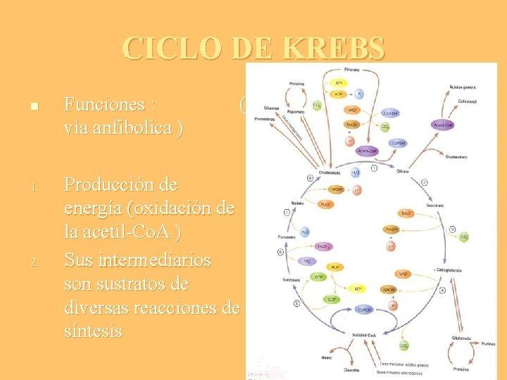 CICLO DE KREBS n 1. 2. Funciones : vía anfibolica ) ( Producción de