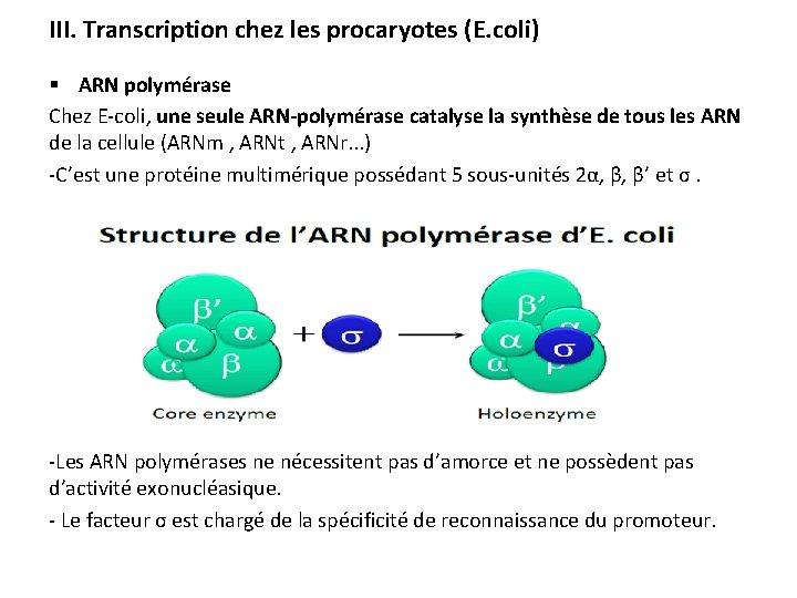 III. Transcription chez les procaryotes (E. coli) § ARN polymérase Chez E-coli, une seule